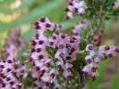 Erica pogonanthera