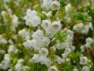 Erica subdivaricata