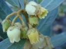 Euclea polyandra