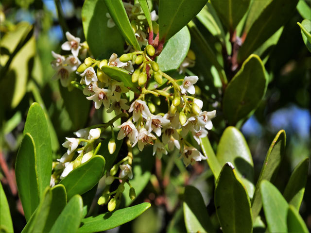 Euclea racemosa subsp. racemosa