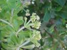 Galium tomentosum