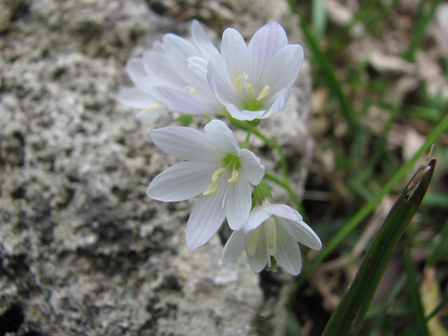 Geissorhiza bryicola