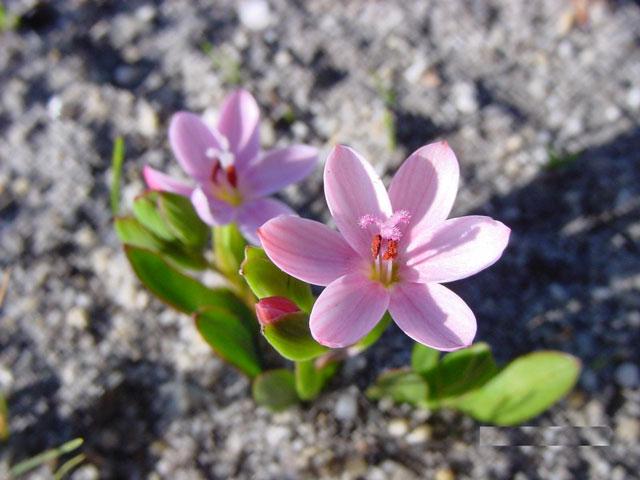 Geissorhiza ovata