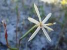 Geissorhiza tenella