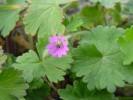 Geranium molle *