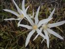 Gethyllis afra