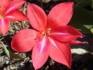 Gladiolus carmineus