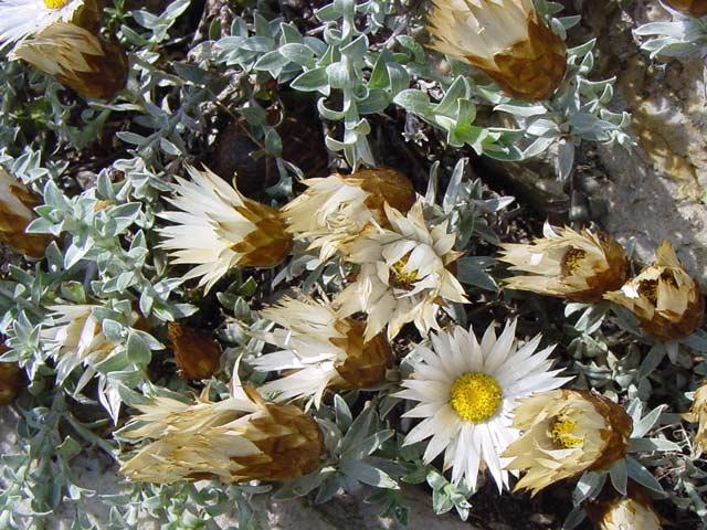 Helichrysum retortum
