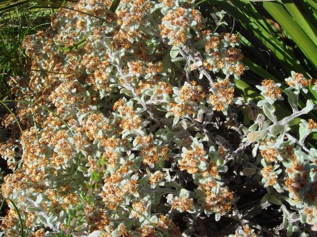Helichrysum tinctum