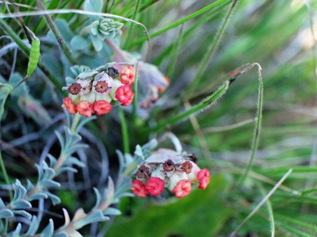 Hermannia trifoliata