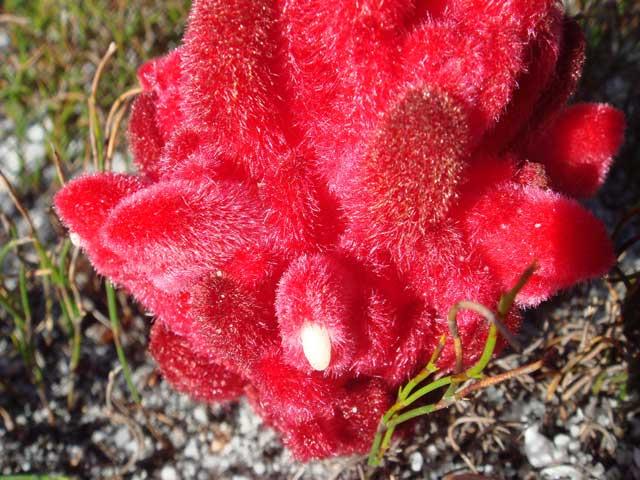 Hyobanche sanguinea