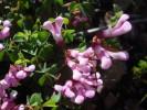 Hypocalyptus oxalidifolius