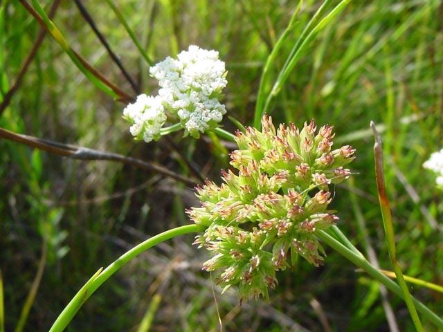 Itasina filifolia