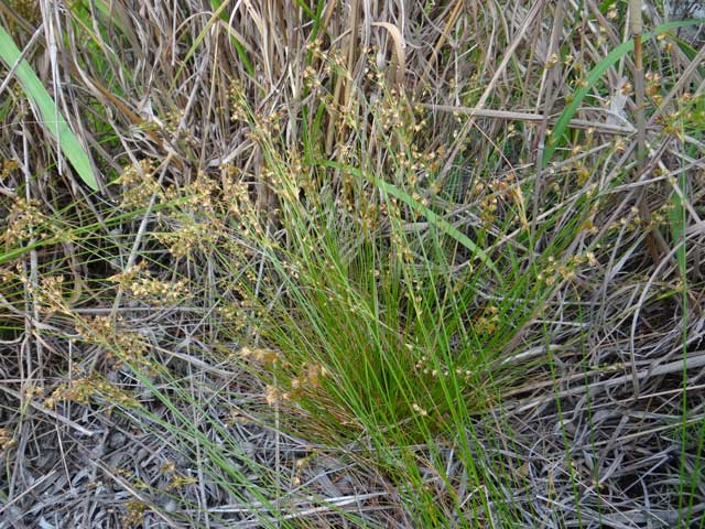 Juncus capensis
