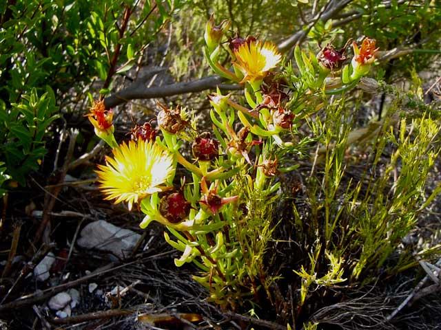 Lampranthus bicolor
