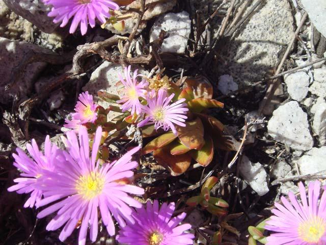 Lampranthus furvus
