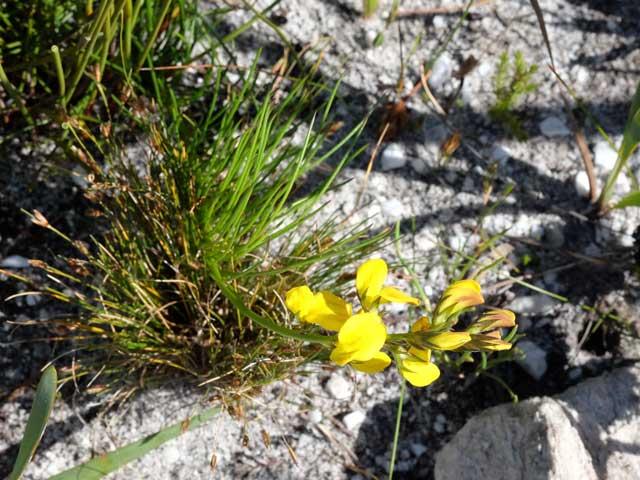 Lebeckia grandiflora