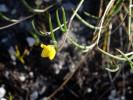 Lebeckia wrightii