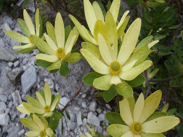 Leucadendron gandogeri