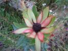 Leucadendron spissifolium subsp. spissifolium