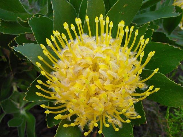 Leucospermum conocarpodendron subsp. viridum