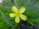 Linum africanum