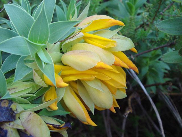 Liparia splendens subsp. comantha
