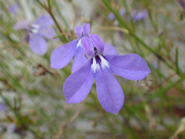 Lobelia setacea var. setacea