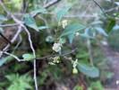 Maytenus acuminata var. acuminata
