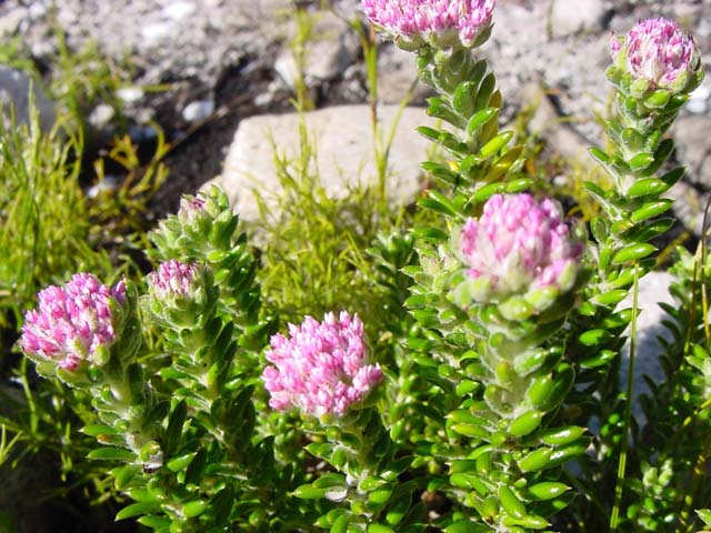 Metalasia cymbifolia