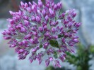 Metalasia seriphiifolia