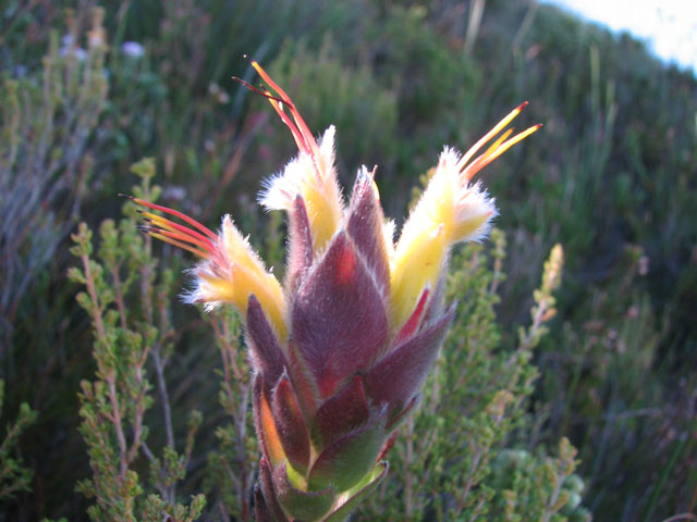 Mimetes palustris