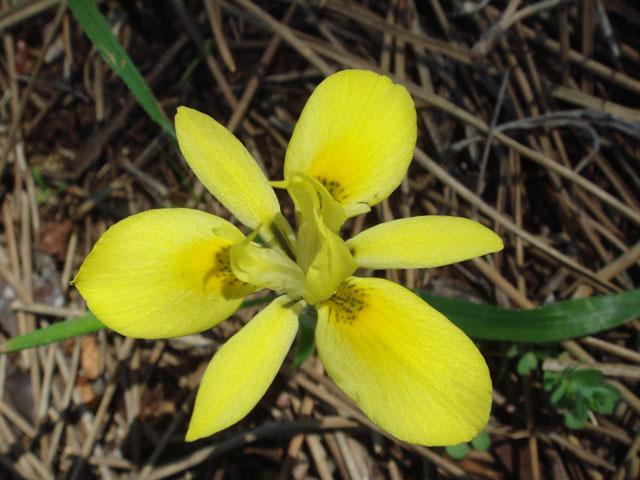 Moraea papilionacea