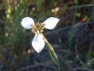 Moraea unguiculata