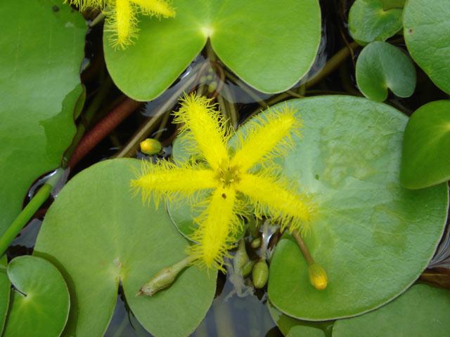 Nymphoides thunbergiana