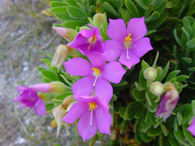Orphium frutescens