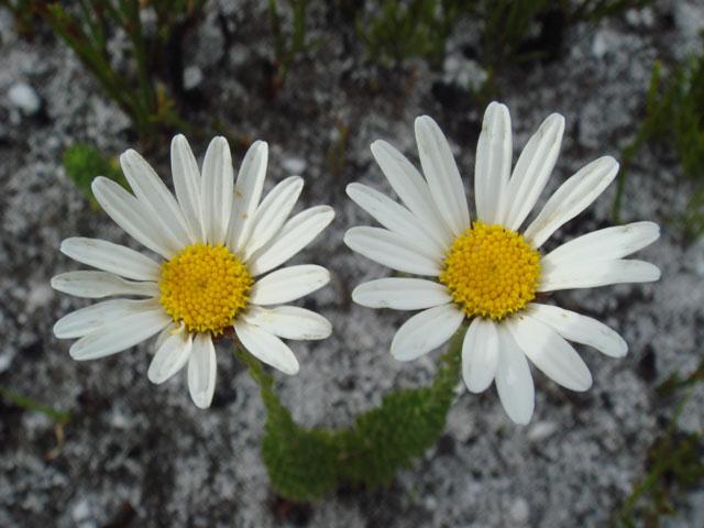 Osmitopsis afra