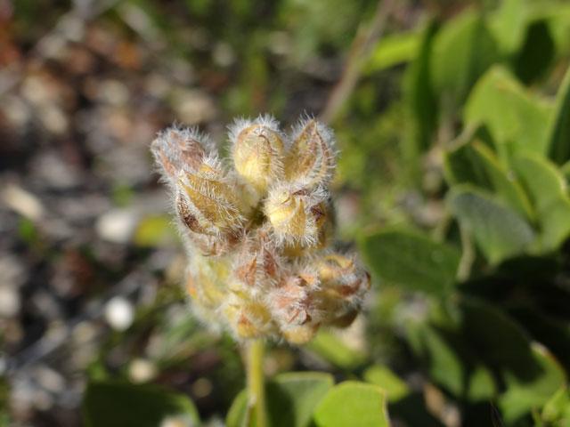 Otholobium rotundifolium