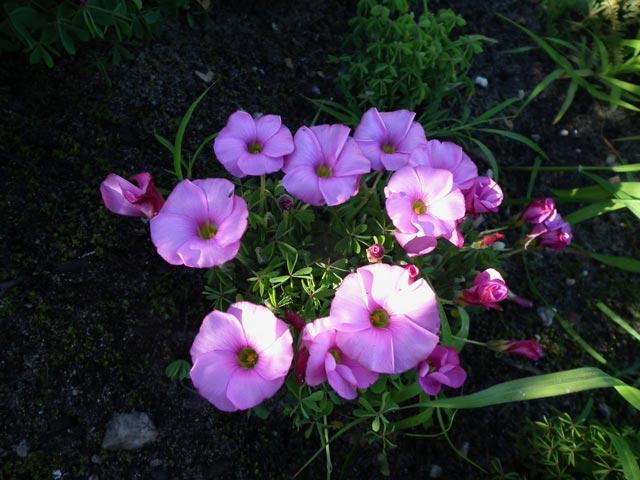 Oxalis heterophylla