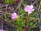 Oxalis polyphylla var. pentaphylla