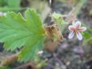 Pelargonium chamaedryfolium