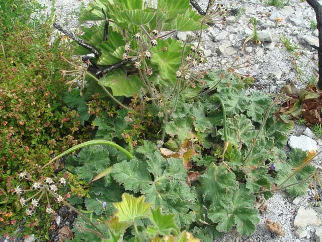 Pelargonium lobatum