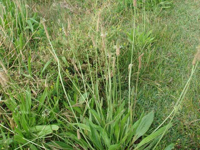 Plantago lanceolata *