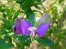 Polygala myrtifolia var. myrtifolia
