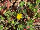 Portulaca oleracea *