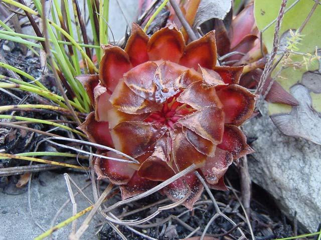 Protea cordata