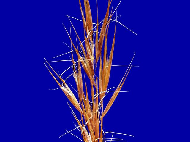 Pseudopentameris macrantha