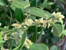 Robsonodendron maritimum