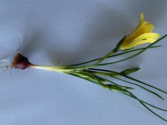 Romulea triflora
