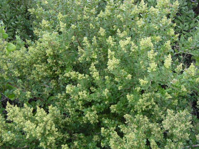 Searsia crenata